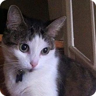 Domestic Shorthair Cat for adoption in Toronto, Ontario - Goshi
