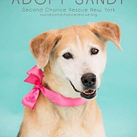 Adopt A Pet :: SANDY - Whitestone, NY