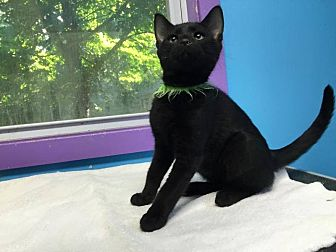 Domestic Shorthair Kitten for adoption in Stevensville, Maryland - Rider