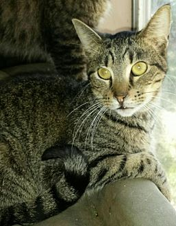 Egyptian Mau Cat for adoption in Middleburg, Florida - ♥ Hashtag ♥