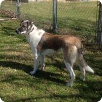 Adopt A Pet :: TEXAS, DALLAS; **URGENT NEEDS FOSTER** 'GRACIE' - Little, Rock, AR