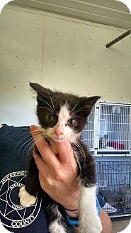 Domestic Mediumhair Kitten for adoption in Mt. Vernon, Illinois - Kitty
