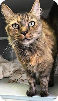 Domestic Shorthair Cat for adoption in Manteo, North Carolina - Gwen