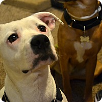 American Pit Bull Terrier Mix Dog for adoption in Cleveland, Ohio - Kara