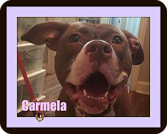 Pit Bull Terrier Mix Dog for adoption in Memphis, Tennessee - Carmela-Foster Home Needed