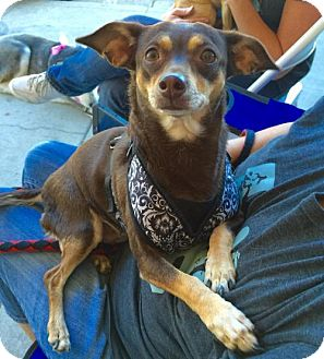 Miniature Pinscher/Chihuahua Mix Dog for adoption in Mission viejo, California - Joey