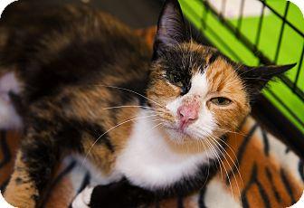 Calico Cat for adoption in Mooresville, North Carolina - A..  Oksana