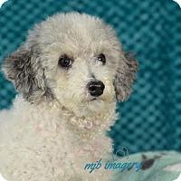 Poodle (Miniature) Dog for adoption in St. Louis Park, Minnesota - Paulina