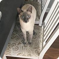 Adopt A Pet :: Sinatra - Hinesville, GA