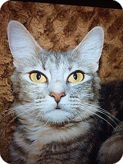 Domestic Shorthair Cat for adoption in Chula Vista, California - Jewls