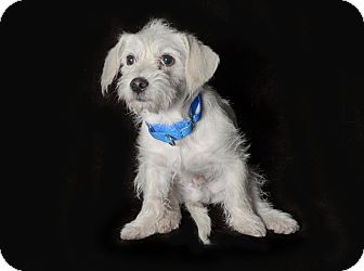 Terrier (Unknown Type, Medium)/Chihuahua Mix Dog for adoption in Van Nuys, California - Scrappy