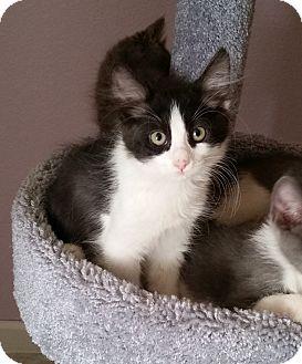 Domestic Mediumhair Kitten for adoption in Phoenix, Arizona - Panda