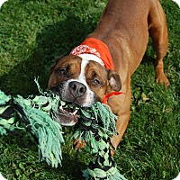 Boxer Mix Dog for adoption in Wilmington, Delaware - Bruno