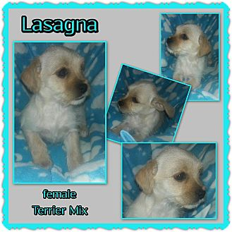 Terrier (Unknown Type, Small) Mix Puppy for adoption in Richmond, California - Lasagna