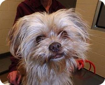 Shih Tzu/Terrier (Unknown Type, Medium) Mix Dog for adoption in Apple Valley, California - Ollie #162387