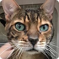 Adopt A Pet :: Savannah at PETCO daily - St. Charles, MO