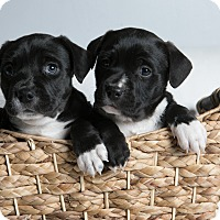 Adopt A Pet :: Shyleigh Twins - Inglewood, CA