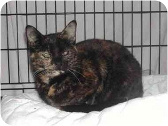 Domestic Shorthair Cat for adoption in cincinnati, Ohio - Sweet petite Missy
