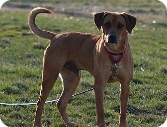 Hound (Unknown Type) Mix Dog for adoption in New Cumberland, West Virginia - Tig