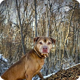 Shar Pei/Pit Bull Terrier Mix Dog for adoption in New York, New York - Cappy