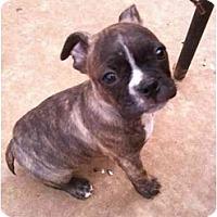 Adopt A Pet :: Bugsy - Arlington, TX