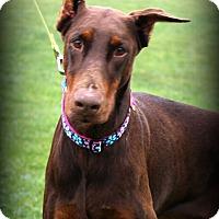 Adopt A Pet :: Mercy - Sinking Spring, PA
