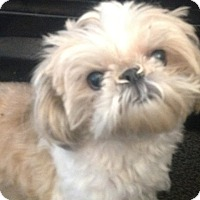 Adopt A Pet :: Cappuccino-local- her mom died - Norwalk, CT