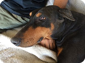 Doberman Pinscher Dog for adoption in Sun Valley, California - Dutchess