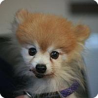 Adopt A Pet :: Bear Bear - Canoga Park, CA