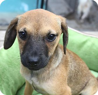 Labrador Retriever/Black Mouth Cur Mix Puppy for adoption in Allentown, Pennsylvania - Turtle