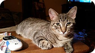 Domestic Shorthair Cat for adoption in Fort Pierce, Florida - HARRISON
