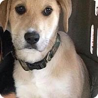 Adopt A Pet :: King Tut Adoption pending - Manchester, CT