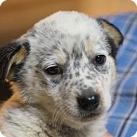 Adopt A Pet :: Buckalew-ADOPTED - Glastonbury, CT