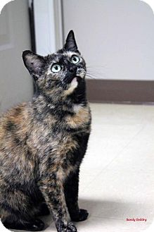 Domestic Shorthair Cat for adoption in Paris, Maine - Doxie