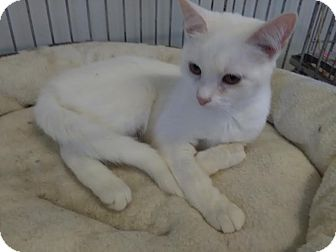 Domestic Shorthair Cat for adoption in Owenboro, Kentucky - PINK!