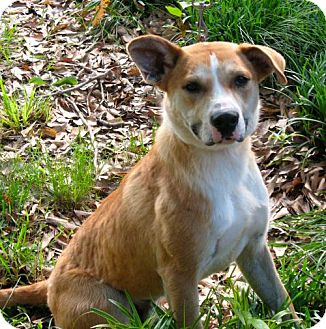Labrador Retriever Mix Dog for adoption in Pembroke, New York - Buddy