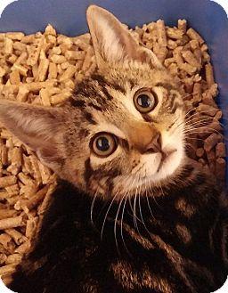 Domestic Shorthair Kitten for adoption in Middletown, New York - Mickey