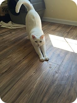 Domestic Shorthair Cat for adoption in Newark, Delaware - Linus