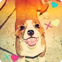 Adopt A Pet :: ARWEN - pocket puppy! - Chandler, AZ