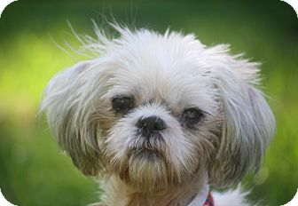 shih tzu rescue nyc bailey adopted dog new york ny shih tzu mix 2516
