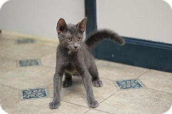 Russian Blue Kitten for adoption in Marietta, Georgia - Hamilton