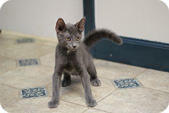 Russian Blue Kitten for adoption in Marietta, Georgia - Hamilton