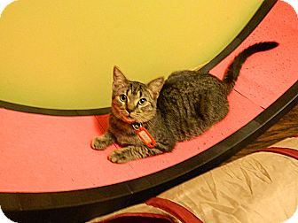 Domestic Shorthair Kitten for adoption in The Colony, Texas - Darius