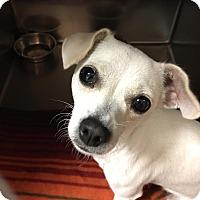 Adopt A Pet :: Starfire - Westminster, CA