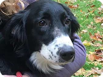 Border Collie Mix Dog for adoption in White Cottage, Ohio - Rosie