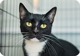 Domestic Shorthair Cat for adoption in Los Angeles, California - Martin