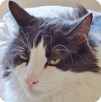 Norwegian Forest Cat Cat for adoption in Davis, California - Charlie
