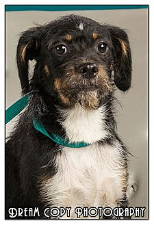 Jack Russell Terrier Mix Dog for adoption in Owensboro, Kentucky - Happy