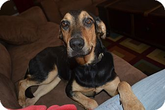 Labrador Retriever/Hound (Unknown Type) Mix Dog for adoption in Homewood, Alabama - Barley