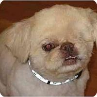 Adopt A Pet :: Petey-NY - Mays Landing, NJ